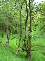 Valley of Tall Trees, Edale   (13351-RDA)