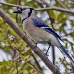 """Blue Jay Winters in Florida"" by kphotos"