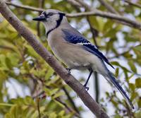 Blue Jay Winters in Florida
