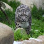 """Snow Leopard"" by crysjan"