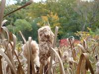Cat Tails in Rags
