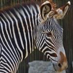 """""""Zebra"""" by crysjan"""