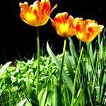 """utah.tulips2"" by SimonGlickman"