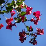 """Hanging Bougainvillea"" by SimonGlickman"