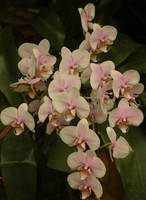 Light Pink Orchids