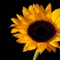 Sunflower Art Prints & Posters by Debbie Herb
