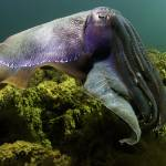 """Giant Cuttlefish 052508MD331"" by Michelehall"