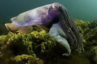 Giant Cuttlefish 052508MD331