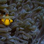 """Anemonefish 071707MD030"" by Michelehall"
