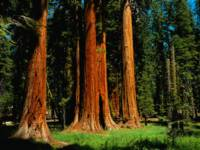 Red Wood Giants