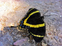 Yellow Blue Black Butterfly 1