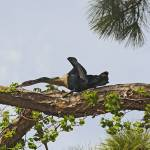 """Anhinga Nest Building"" by kphotos"