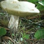 """""""Mushroom"""" by AHThom"""