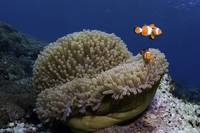 Anemonefish 100908MD034