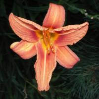 Day Lily Art Prints & Posters by A.H. Thom