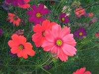 Boquet of Cosmos