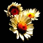 """Daisies"" by GraemeCowie"