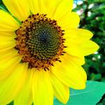 """Sunflower"" by lauryn_guyer"