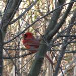 """Cardinal"" by lauryn_guyer"