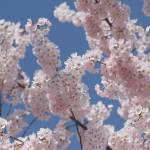"""Washington DC Cherry Blossoms 2009p2a-4"" by dcphoto"