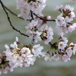 """Washington DC Cherry Blossoms 2009p-1"" by dcphoto"