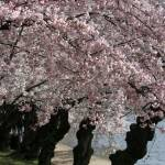 """washington dc cherry blossoms 09-3"" by dcphoto"