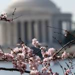 """washington dc cherry blossoms 09-8"" by dcphoto"