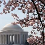 """washington dc cherry blossoms 09-9"" by dcphoto"
