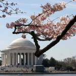 """washington dc cherry blossoms 091-2"" by dcphoto"