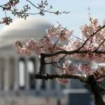 """washington dc cherry blossoms 091-3"" by dcphoto"