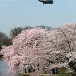 """washington dc cherry blossoms 0912-3"" by dcphoto"