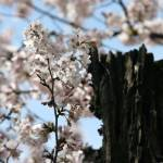 """Washington DC Cherry Blossoms 2009p1-1"" by dcphoto"