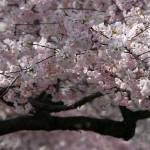 """Washington DC Cherry Blossoms 2009p1-5"" by dcphoto"