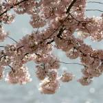 """Washington DC Cherry Blossoms 2009p2-2"" by dcphoto"