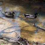 """""""Ducks in creek"""" by rtraviscrocker"""