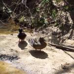 """""""Ducks"""" by rtraviscrocker"""