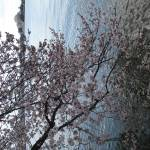 """f washington dc cherry blossom photo 2009 n-20"" by dcphoto"
