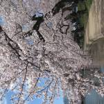 """f washington dc cherry blossom photo 2009 n-38"" by dcphoto"