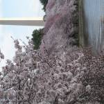 """f washington dc cherry blossom photo 2009 n-45"" by dcphoto"