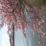 """f washington dc cherry blossom photo 2009 n-52"" by dcphoto"