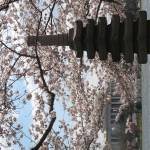 """f washington dc cherry blossom photo 2009 n-90"" by dcphoto"