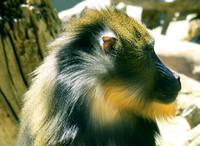 Profile of a  Mandrill