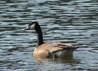 Goose in water