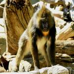 """Male Mandrill"" by rayjacque"