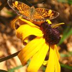 """Moth on Black Eyed Susan"" by lauryn_guyer"