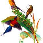 """""""Goulds Sunbird (Aethopyga gouldiae),"""" by markkumurto"""