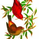 """Scarlet Finch"" by markkumurto"