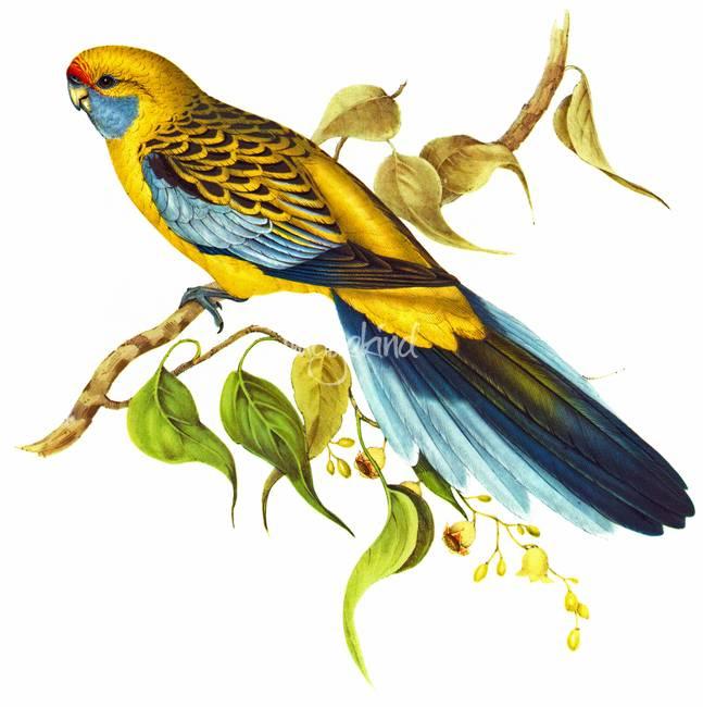 Yellow Rosella by markkumurto