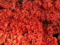 A bed of red roses