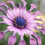 """""""Lilac Spoon African Daisy"""" by jackimroczkowski"""